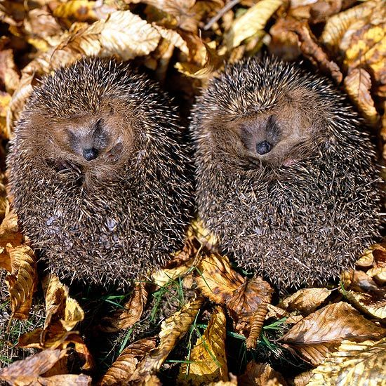 hibernating-hedgehogs
